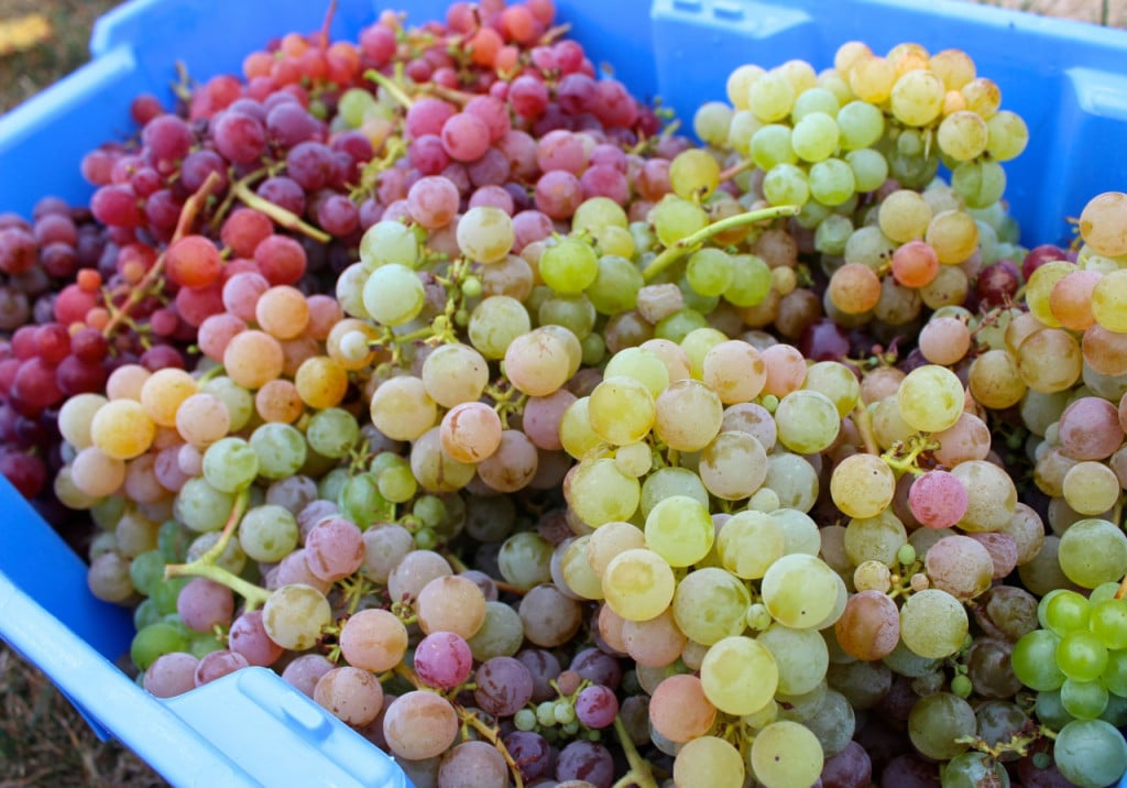 Harvested Reliance Grapes