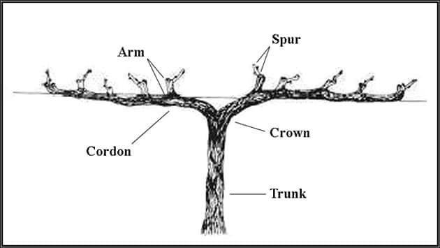 grapevine anatomy - Soldier Creek Winery